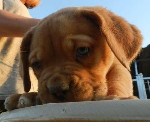 cachorros inka x adriano 020